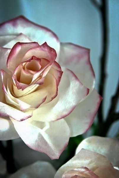 Розы из бумаги своими руками. Мастер-класс с фото