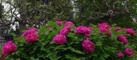 Пион – распространенное растение для дачи. Он не требует особенного ухода