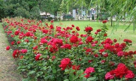 ароматные кусты роз