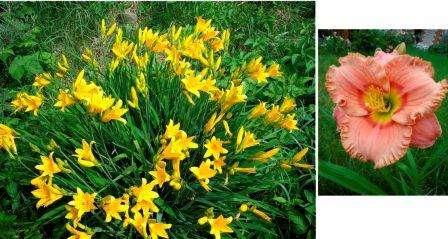 Лилейник, ароматные цветы для сада фото