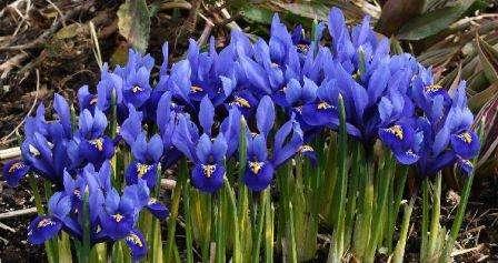 Ирис, цветы низкорослые