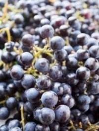 Красное домашнее вино из винограда изабелла рецепты