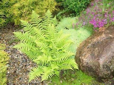 Папоротник. Это растение изумительно смотрится, если высадить его у подножия альпинария