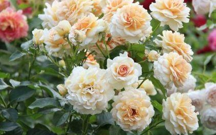 Укрытие роз на зиму в подмосковье видео