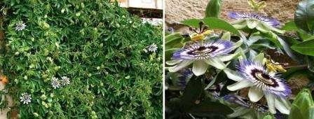 Пассифлора – лиана, способна достигать 6 и более метров. Это светолюбивое растение. Температура в помещении не должна опускаться ниже + 15. При достаточном поливе и регулярном внесении удобрений цвести может круглый год.