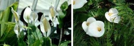 Родина спатифиллума – Филиппинские острова, Центральная и Южная Америка. В этих странах достаточно теплый климат, из-за чего сам цветок тоже теплолюбивый. Спатифиллум в природе произрастает во влажных тропических лесах,