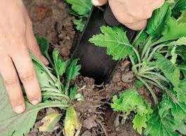 Хризантемы любят тепло, что обязательно нужно учитывать при выборе места для их посадки. Оно должно хорошо обогреваться солнцем и быть защищенным от ветров. Цветы требуют рыхлой, влажной и хорошо удобренной почвы, тогда они будут отлично зимовать. Хризантемы нужно коротко обрезать, чтоб они росли красивым кустом, а почву обязательно облегчают песком. Обрезают их в последние дни октября.