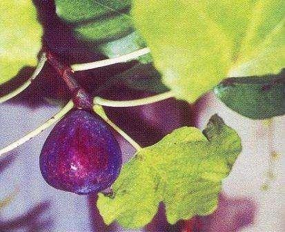 фикус карика - удивительное растение