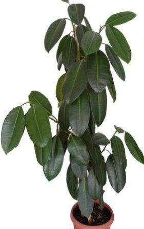 фикус каучуконосный часто встречается в интерьерах