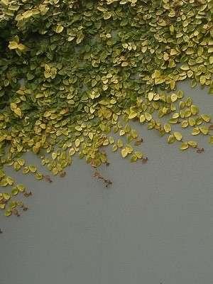 За разными видами фикусов может понадобиться разных уход, поэтому перед тем как удобрять или пересаживать растение, определитесь к какому виду фикусов оно относится.