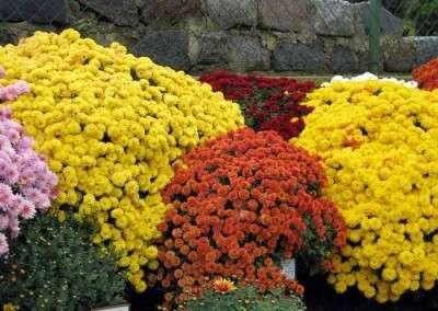 Зная, как правильно выращивать хризантемы, вы сможете высадить их в открытый грунт и наслаждаться прекрасным цветением длительное время. Своими руками можно сделать красивый цветник на дачном участке.