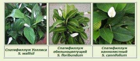 виды и названия спатифиллум фото
