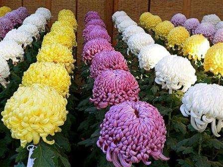 Для начала выращивания хризантем эффективным будет азотное удобрение, а для периода цветения хорошо подойдет фосфорно-калийное. Когда цветение заканчивается, потребность влажности уменьшается, об этом не стоит забывать.