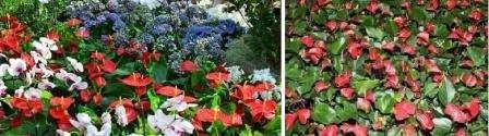 Антуриум – очень красивое растение с большими блестящими листьями и «строгими» цветами.</p> <p> Считается мужским растением.</p> <p> Бывает разных расцветок – от белого до темно-красного, почти черного. Цвести может непрерывно.</p> <p> К освещению не требователен. Теплолюбив.» width=»448″ height=»125″/></p></div> </p> <p>Для полива вода должна быть либо дистиллированной, либо отстоянной и прокипяченной. Любит опрыскивание.</p> <p> И поливать, и опрыскивать необходимо теплой водой.</p> <p> Пересаживают антуриумы в слабокислую почву.</p> <p><div style=