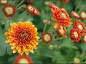 Как выращивать хризантемы на вашем дачном участке