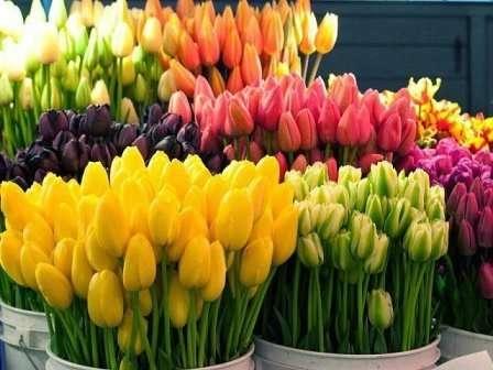 Выращиваем тюльпаны из луковиц в домашних условиях 72