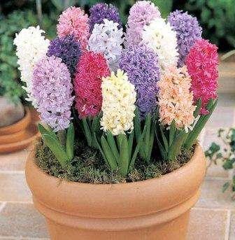 На зиму растения лучше накрыть, например, лапником. Весной цветов вы скорее всего не получите, но нужно набраться терпения и подождать до следующего года, когда появятся долгожданные гиацинты.