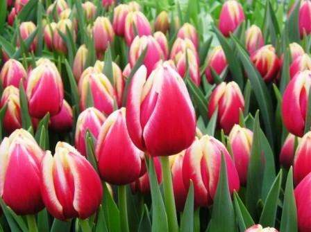 Выращиваем тюльпаны к 8 марта дома из луковиц