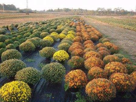 Благодаря разнообразию сортов, из хризантем можно сделать красивую композицию в саду.</p> <p> Большие кусты, которые имеют много маленьких бутонов можно высадить в дальнем углу сада.</p> <p> Они очень долго цветут и будут радовать глаз издалека.</p> <p> Некоторые сорта достаточно стойки к заморозкам. Цвести хризантемы могут с конца июля и до зимы, сберегая осеннюю композицию.» width=»448″ height=»336″/></p></div> </p> <p>Несмотря на это, хризантема требует немало ухода при минимальной плюсовой температуре она начинает прорастать.</p> <p> Только снег растает, нужно облегчить укрытие, а в середине мая, полностью его снять, так как цветы активно начинают расти при температуре выше 10 градусов.</p> <p><div style=