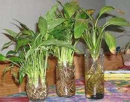 Спатифиллум необходимо удобрять во время полива каждую неделю в весенний и осенний периоды, используя любые универсальные удобрения для цветов (подкормку слабых растений проводят удобрениями меньшей концентрации). В оставшуюся часть года, несмотря на размер цветка, вносят удобрения раз в месяц.