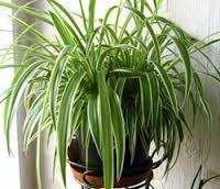 Хлорофитум непритязателен к свету: активно растет как в хорошо освещенном месте, так и в тени. Если растение расположить в освещенном месте, то оно ответит вам бурным ростом: станет пышным, листья широкими, появится больше побегов с розетками. Недостаток света влияет на окраску пестролистного вида хлорофитума, делая полоски блеклыми, почти незаметными.