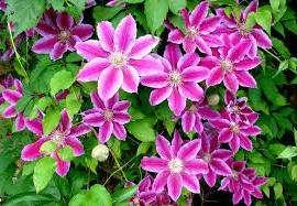 Клематисы любят хорошо освещенное место. Растения, посаженные в тень, не порадуют вас своим цветением.