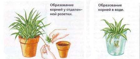 Выделяют два способа размножения хлорофитума: укоренение бокового отростка и деление куста. Как только вы посадили хлорофитум, он тут же начинает активно расти: появляются новые листья, а вслед за ними и боковые усы, на которых распускаются небольшие белые цветочки.</p> <p> Позже на конце побега образуется розетка с уже оформленными маленькими корешками. Розетку можно поместить в воду для большего развития корней, а можно сразу укоренить в почве.» width=»448″ height=»191″/></p></div> </p> <p>Способ деления куста тоже не представляет трудностей.</p> <p> В этом случае получают более крупные кустики хлорофитума, которые очень просто укоренить. <br/>Заметим, что в обоих случаях молодые растения легко приживаются, практически сразу идя в рост.</p> <p><div style=