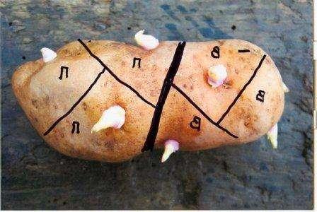 Рост отростков допустимо стимулировать с помощью надрезов, которые проводятся или по диаметру или поперек клубня.</p> <p> Затем картофель помещают в прохладное помещение, например, подвал с хорошим освещением. Данный способ относят к самым кропотливым, так как приходится проводить надрезы на каждом клубне.» width=»448″ height=»300″/></p></div> </p> <p>Если у вас нет времени заниматься этими способами, ускорить процесс появления ростков на картошке можно с помощью прогревания.</p> <p> Для этого сырье помещают в помещение с температурой выше 20 градусов, т. е у вас получится использовать для этого собственную квартиру.</p> <p><div style=