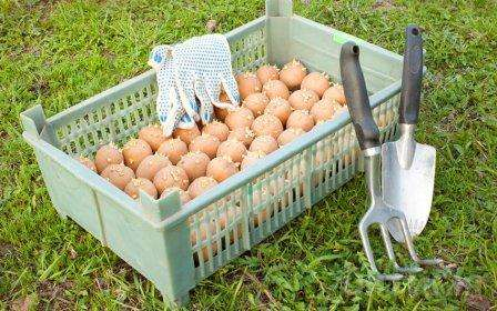 Способы проращивания картофеля в домашних условиях. Виде