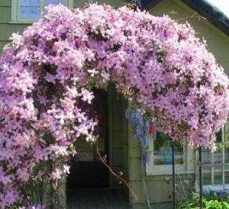 Цветущие лианы на даче. Много фото клематисов