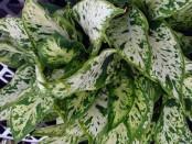 Как и многие комнатные растения диффенбахия нуждается в подкормках. Удобрения чаще всего вносят в начале весны, летом, используя для этого жидкое минеральное либо органическое удобрение. Удобряют раз в 10 дней половиной части от рекомендуемого количества.
