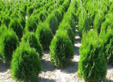 Важным моментом является своевременная подкормка деревца, благодаря которой оно активнее растет, развивается, улучшается внешний вид. Туя не требует частых удобрений, достаточно 1 – 2 раза в год внесения компоста, универсального удобрения для хвойных пород.