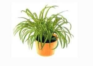 Цветок очень отзывчив на водные процедуры: любит частые опрыскивания и легкий душ, который можно заменить протиранием листьев тряпочкой.