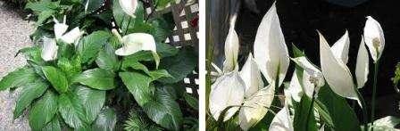 Родина комнатного растения спатифиллум, уход, полив