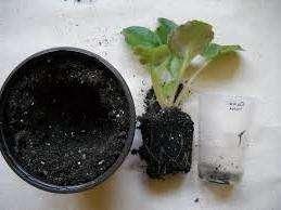 Данный способ считается самым сложным, ведь он требует полной замены грунта. Для начала подготовьте дренаж в пластиковом горшке, а затем насыпьте часть земли. Пальцами сформируйте горку и аккуратно разместите в ней корни фиалки. Затем добавьте еще грунта, чтобы нижние листья сенполии чуть касались земли. На следующие сутки можно еще добавить грунта, так как он с течением времени проседает.