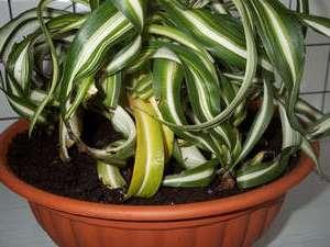 Желтеет и сохнет хлорофитум.</p> <p> Что делать? Причины» width=»300″ height=»225″/></p></div> </p> <p>Если <strong>хлорофитум начал желтеть и сохнуть</strong>, этому есть несколько объяснений. Для того, чтобы ваше комнатное растение полностью не погибло, нужно разобраться, что оказывает на него отрицательное воздействие.</p> <p> Своими руками вы сможете не просто вырастить красивое комнатное растение, но и правильно научиться за ним ухаживать в домашних условиях.</p> <h2>Почему сохнуть кончики листьев у хлорофитума?</h2> <p>Рассмотрим часто встречающиеся ситуации, почему листья хлорофитума меняют цвет. <br/>1.Ситуация : сначала окраска листьев бледнеет – листья становятся бледно-зелеными.</p> <p> Затем приобретают светло-желтый оттенок. <br/>Причин может быть две:</p> <p>а) Цветку не хватает света, особенно это актуально для зимнего периода с коротким световым днем;</p> <p>б) Растение сильно разрослось и ему недостает нужного количества питательных веществ.</p> <p><em>Выход</em>: в первом случае необходимо поставить горшок с растением вблизи окна либо организовать дополнительное искусственное освещение.</p> <p> Во втором – требуется срочная пересадка хлорофитума в емкость большего размера, соответствующего объему корневой массы.</p> <p><div style=