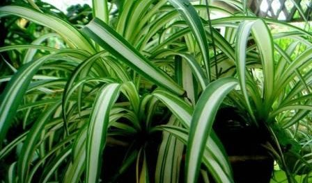 Цветок хлорофитум как ухаживать