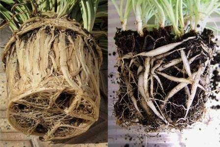 Существует два способа размножения: отделение части от куста и детками от цветоноса. Укоренение производят в обычном грунте.