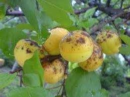 Возбудителем грибного заболевания является гриб, от которого сначала буреют, а потом и гибнут все части дерева как цветы, побеги, так и плоды.