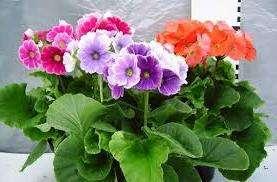 Примула известна и под другим названием – Первоцвет, которое получила за то, что одна из первых расцветает после долгой зимы. В природе насчитывается свыше 500 видов как однолетних, так и многолетних растений этого семейства.