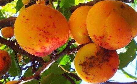 Чем может болеть абрикос и как лечить вирусные и грибковые заболевания. Фото