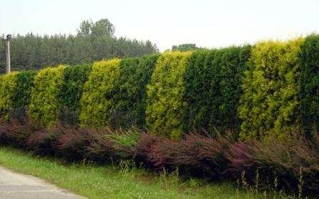 Живую изгородь, как правило, используют на дачных участках. Она является декоративным ограждением.