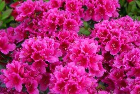 С примулами, тюльпанами и маргаритками хорошо сочетается азалия. Она достаточно неприхотлива и красиво смотрится в цветнике.