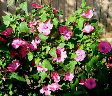Крупные цветы лаватеры станут настоящим украшением цветника, так как она цветет от начала посева до глубокой осени.