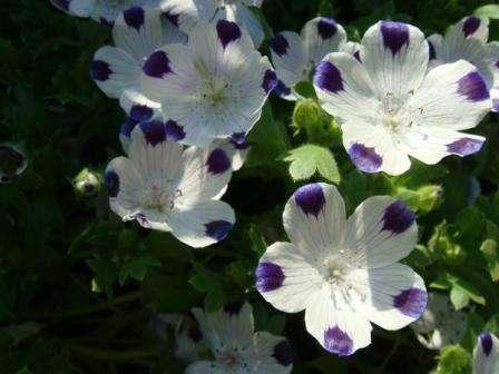 Из красиво цветущих растений для клумбы можно выделить немофилу. Этот цветок не нуждается в укрытии на зиму и цветет практически с мая до заморозков.