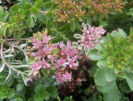аиболее часто применяемые растения при оформлении альпинариев это - очиток, камнеломка, молодило, эдельвейс, прострел. Очень хорошо будут смотреться карликовые папоротники, ползучий флокс, гвоздика, мускари, нарциссы.