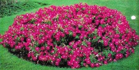 Начинающим садоводам придется по душе простая клумба-одноцветник. Обустройте подходящее место для цветника