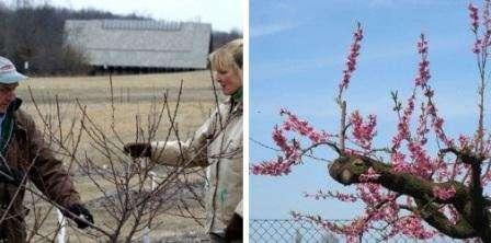 Обрезка персика в краснодарском крае