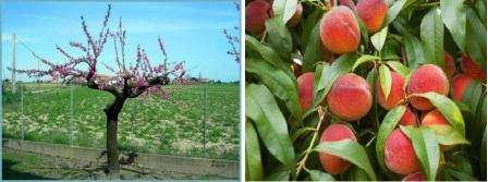 Особенность этого периода в том, что сокращается вероятность заражения дерева цитоспорозом. Результат хорошей обрезки - увеличение качества и размеров плодов, а также повышение урожайности персика.