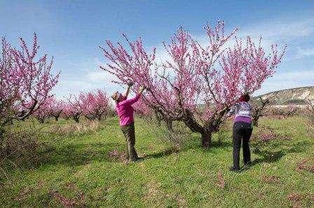 Обрезка персика старого весной, летом, осенью.Видео для начинающих